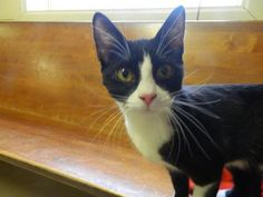 Meet Domino, an adoptable Domestic Short Hair looking for a forever home. Cat • Domestic Short Hair • Young • Female • Medium  Randolph County Animal Shelter Randleman, NC