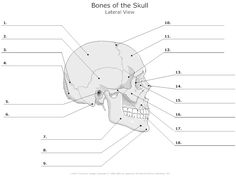 Lateral View of the Bones of the Skull Unlabeled Example