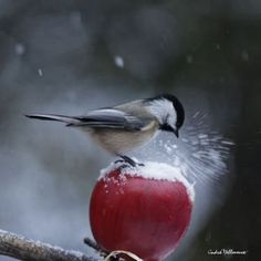 ...chickadee with apple treat. Must try this next winter.
