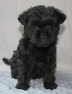 Affenpinscher - Doris by Orlock Affenpinschers, via Flickr