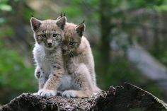 young lynxes by lonesome photographer on 500px