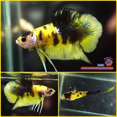 2149 best animals images in 2019 betta fish fishing gone fishing