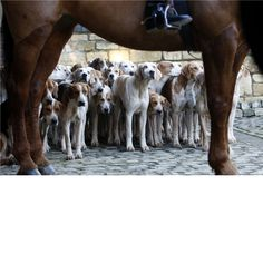 Amazing photo of the Berkley Hounds   - look at those faces!  Photo by Charles Sainsbury-Plaice