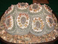 Mammillaria morganiana