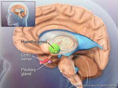 The hypothalamus is a region of brain anatomy located deep within the brain, just above the base of the skull, on each side of the third ventricle. The main function of the hypothalamus is to regulate homeostasis (maintaining the body's status quo). The hypothalamus contains many specialized nuclei (collections or nodules of specialized brain cells), that help maintain many basic physiological functions, such as body temperature, blood pressure, fluid and electrolyte balance,