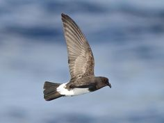 New Zealand Storm-Petrel (Fregetta maoriana)   New Zealand   Thought to be extinct since 1850, a series of sightings from 2003 to the present indicate the presence of a previously unknown colony