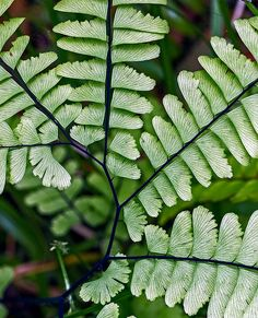 The Northern Maidenhair Fern,Adiantum pedatum (Polypodiales - Pteridaceae) It featuresfinely-textured, somewhat frilly fronds which have curved stalks and are palmately-divided. Photo credit: ©Richard Droker (CC BY-NC-ND 2.0)