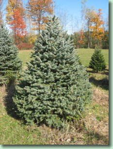 Blue Spruce are a beautiful shade of blue with stiff needles. They have especially strong branches, making them an excellent choice for heavier ornaments, and their stiff, prickly needles are very useful for keeping pets from climbing on them.