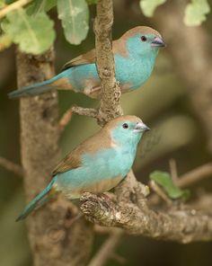 Blue Wax-bill Pair