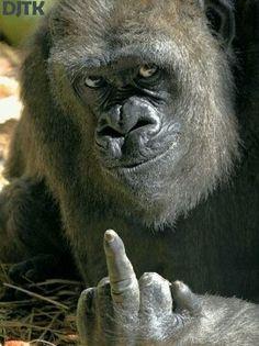 Ja,ja, Gorila feo