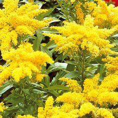 Tarhapiisku - Viherpeukalot Fall Season, Different Colors, Seasons, Yellow, Garden, Flowers, Plants, Autumn, Fall