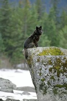 "cherjournaldesilmara: ""Black Wolf """
