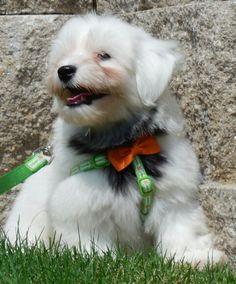 Sawyer, (Misti/Remy pup, Summer 2014) 2 Cute Havanese