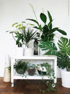 イングリッシュアイビー、セローム、サンスベリア、モンステラ、ユッカ、パキラ、アンスリュームなど、室内で育てるのに適した植物はたくさんあります。ベランダや窓の近くなど日当たりの良い場所を好む植物もあれば、比較的日のあたらない場所でも耐えられる植物もあります。背丈、葉の大きさやテクスチャー、花や実の色合いなど、それぞれのシーンや好みに合わせて、グリーンのあるナチュラルな部屋づくりをはじめてみませんか。