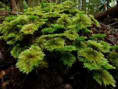 Umbrella Mosses, Hypnodendron sp. | by New Zealand Wild