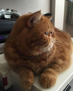 Rosy Whiskerton (nèe Mila) - Exotic Shorthair Cat — Happy flat face Furriday! #rosywhiskerton...