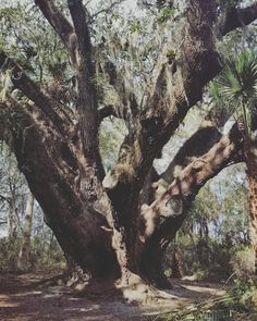 The second oldest Live Oak Tree in Florida - Lake Griffin State Park