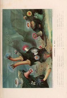 Anemones, Le Monde de la Mer, A. Fredol and P. Lackerbauer, 1866.