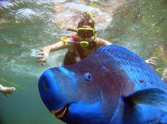 O peixe-papagaio-azul é um peixe-papagaio do gênero Scarus. Os adultos desenvolvem um focinho rombo proeminente e grandes lobos superiores e inferiores na barbatana caudal. Todo ele azul, alimenta-se de plantas bentónicas e pequenos invertebrados, formando grandes grupos na época da desova. Habita os recifes de coral do Atlântico Ocidental, Brasil, Bahamas, Bermudas e Antilhas. Podem crescer até 120 cm.