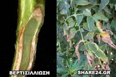 Αναγνωρίστε τις Ασθένειες της Ντομάτας και Αντιμετωπίστε τες με Βιολογικό Τρόπο! - share24.gr Asparagus, Plant Leaves, Vegetables, Plants, Food, Gardening, Studs, Essen, Lawn And Garden