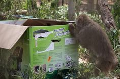 The monkeys really enjoyed the box Peter donated!  What was inside was pretty great too! https://www.facebook.com/BornFreeUSAPrimateSanctuary/photos/a.386757514006.162634.76163564006/10152326558814007/?type=1