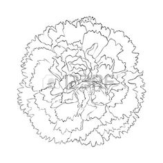 how to draw a carnation flower step by step