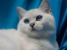 Katherine the Great Feliland. British Shorthair/Black Silver Shaded Point/ BRI ns 11 33  www.felilandcattery.com