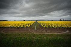 RoozenGaarde, Daffodils, 6296    Rainstorm, daffodil field. At Roozengaarde farm (tulips.com), Mount Vernon, WA.