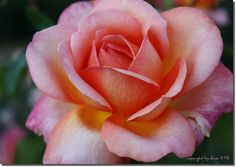 I used to have a rose bush in my yard a lot like this....It's name was Barbara Bush...I didnt' name it, it came that way.