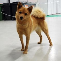 Finnish Spitz. I love these furballs and their fluffy curly tails. Oh how those curly tails are my weakness!