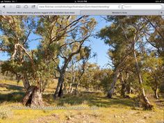 Old river red gums