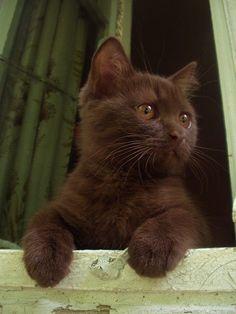 Chocolate Kitty. So Pretty