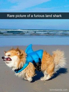 21 Ideas funny dogs with captions memes so cute for 2019 Funny Photo Captions, Funny Animals With Captions, Funny Pictures With Captions, Puppy Pictures, Funny Photos, Hilarious Animals, Funny Baby Memes, Funny Babies, Funny Dogs