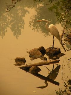 Great Egret spotted in Yosemite National Park - first time since 2002.