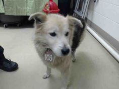 SUPER U RGENT - HOUSTON - This DOG - ID#A421095 I am a male, brown and black Chow Chow and German Shepherd Dog. My age is unknown. I have been at the shelter since Dec 10, 2014.