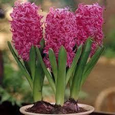 pink zambila