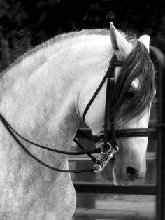 Les chevaux Lusitaniens
