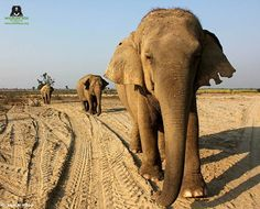 #PictureOfTheDay! Chanchal steers the herd during the evening walk as Laxmi follows behind her and Bijli can be seen strolling at the end at the Elephant Conservation and Care Center, Mathura!