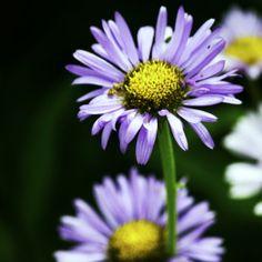 Wild purple daisys Mount Rainier National Park, WA