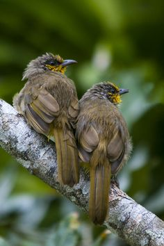 The Mountain Bulbul (Ixos mcclellandii) is a songbird species in the bulbul family (Pycnonotidae). It is found in Bangladesh, Bhutan, Cambodia, Hong Kong, India, Laos, Malaysia, Burma, Nepal, Thailand, and Tibet. Its natural habitat is broadleaved evergreen forests, 800-2590m./ by Allan Seah, via 500px