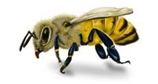 Carpenter Bees - Carpenter Bee Facts