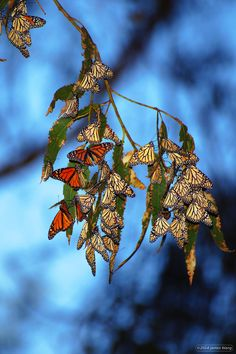 Monarch butterfly migration in October, best viewed in Pacific Grove near Monterey, California