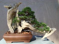 Mike Sullivan, a South Florida bonsai artist, created this tanuki from a small juniper and a piece of dead buttonwood (not his.)  from: http://www.bonsaimary.com