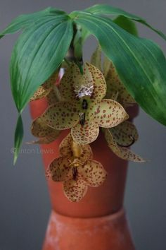 ORCHID DYNASTY : Photo