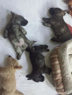 Nothing cuter than Scottie puppies, especially when they are sleeping! I want them all!