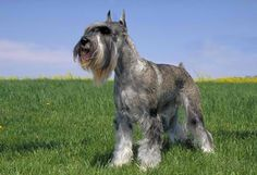 Standard Schnauzer originated in Germany and used as a guard dog and a ratter. They are members of the working group and were AKC recognized in 1904. They range in size from 17½ to 19½ inches tall at the shoulder. They have a pepper and salt or pure black coat. The Standard Schnauzer has an average lifespan of 12 to 14 years. They have no major health conditions, but are susceptible to minor issues such as canine hip dysplasia and follicular dermatitis.