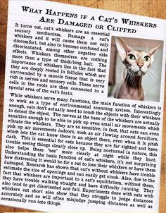 10 Amazing Cat Facts - Fact 7 - What happens if a cat's whiskers are damaged or clipped some asshole cut my cats when I was young so we had to keep him inside Cat Photography, Photography Aesthetic, Dog Whisperer, Cat Whiskers, Space Cat, Grey Cats, Cat Facts, Cat Drawing, Christmas Cats