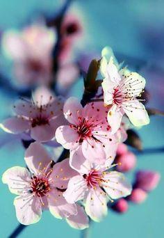 Flir de cerezo