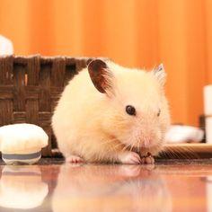 キュンキュン🐹💕 このモフモフ感…伝わるでしょうか…💓 まん丸きな粉もち〜⁽⁽ૢ(⁎❝᷀ົཽω❝᷀ົཽ⁎)✧ * * #ナッパ#nappa#ゴールデンハムスター#ハムスター#キンクマ#小動物#かわいい#ふわもこ部#癒し#펫스타그램#life#instacute#instapet#family#goldenhamster#syrianhamster#hamster#hammy#happy_pets#倉鼠#petscorner#pet#bestanimal#animal#adorable#awww#love#socute#cute#followme