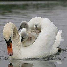 ollow for awesome bird photo ? Beautiful Swan, Beautiful Birds, Animals Beautiful, Majestic Animals, Beautiful Babies, Wildlife Photography, Animal Photography, Photography Settings, Cute Baby Animals